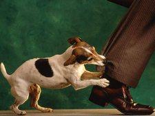 щенок кусает за ногу