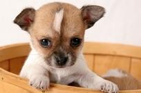 милый щенок чихуахуа