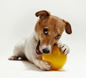 фото мини-пса с игрушкой
