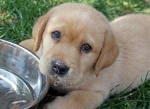 щенок лабрадора хочет кушать