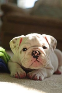 francuzskij bul'dog