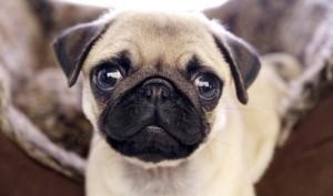 любопытный щенок