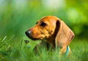 мини пес