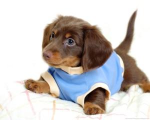 щенок мини-таксы