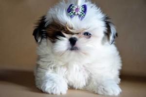 фото щенка ши-тцу