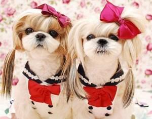 щенки-девочки ши-тцу